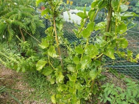 Ceylon Spinach (Web)