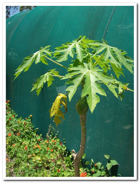 medicinal plants Archives | Yandina Community Gardens