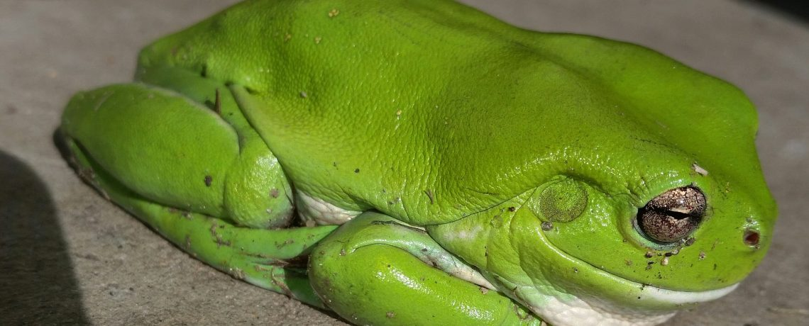 The Decline Of Australian Frogs