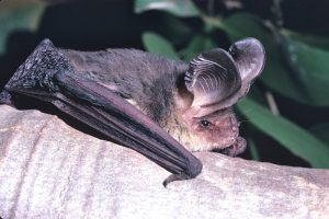 goulds-longeared-bat-les-hall
