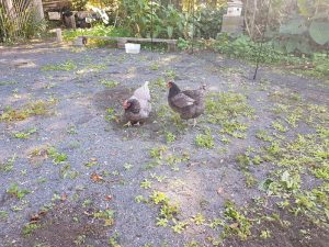 Yandina Community Gardens chickens doing weeding