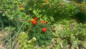 Diverse cover crops at Yandina Community Gardens