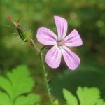 geranium-robertianum