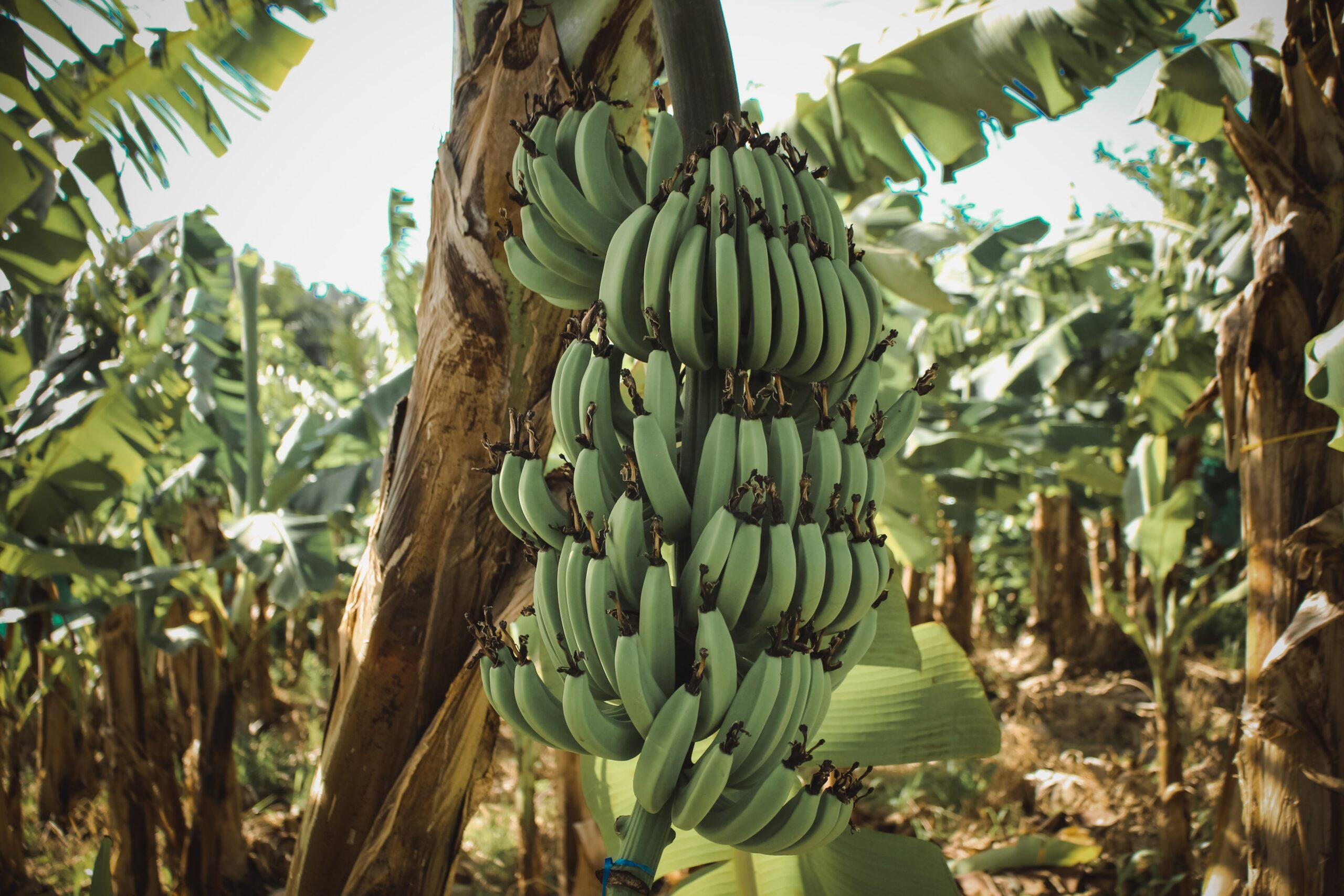 Saturday 24th April 2021, 2-4pm, Growing Fabulous Bananas